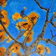 Yellow Birch Tree 2 24x24 Print On Canvas